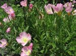 Photo White Buttercup, Pale Evening Primrose characteristics