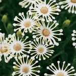 Photo Garden Flowers African Daisy, Cape Daisy (Osteospermum), white