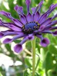 Photo Garden Flowers African Daisy, Cape Daisy (Osteospermum), purple