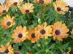 Photo Garden Flowers African Daisy, Cape Daisy (Osteospermum), orange