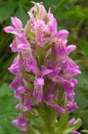 Photo Garden Flowers Marsh Orchid, Spotted Orchid (Dactylorhiza), pink
