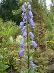 Photo Monkshood characteristics