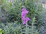 Photo Foothill Penstemon, Chaparral Penstemon, Bunchleaf Penstemon characteristics