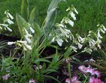 Photo Eastern Penstemon, Hairy Beardtongue characteristics