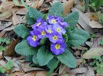 Photo Garden Flowers Primrose (Primula), light blue