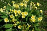 Photo Garden Flowers Primrose (Primula), yellow