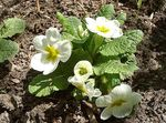 Photo Garden Flowers Primrose (Primula), white