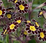 Photo Garden Flowers Primrose (Primula), black