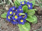 Photo Garden Flowers Primrose (Primula), blue