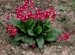 Photo Garden Flowers Primrose (Primula), red