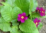 Photo Garden Flowers Primrose (Primula), purple