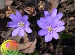 Photo Liverleaf, Liverwort, Roundlobe Hepatica characteristics