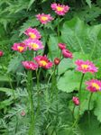 Photo Garden Flowers Painted Daisy, Golden Feather, Golden Feverfew (Pyrethrum hybridum, Tanacetum coccineum, Tanacetum parthenium), pink