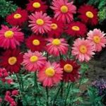 Photo Garden Flowers Painted Daisy, Golden Feather, Golden Feverfew (Pyrethrum hybridum, Tanacetum coccineum, Tanacetum parthenium), red