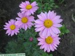 Photo Garden Flowers Painted Daisy, Golden Feather, Golden Feverfew (Pyrethrum hybridum, Tanacetum coccineum, Tanacetum parthenium), lilac