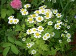 Photo Garden Flowers Painted Daisy, Golden Feather, Golden Feverfew (Pyrethrum hybridum, Tanacetum coccineum, Tanacetum parthenium), white
