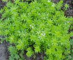 Sweet Woodruff, Our Lady's Lace, Sweetscented Bedstraw