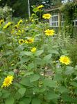 Photo Thin-leaved Sunflower characteristics