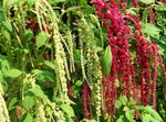 Photo Amaranthus, Love-Lies-Bleeding, Kiwicha characteristics