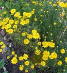 Photo Golden Marguerite, Dyer's Chamomile characteristics