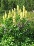 Photo Streamside Lupin characteristics