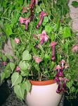 Photo Purple Bell Vine characteristics
