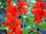Photo Scarlet Sage, Scarlet Salvia, Red Sage, Red Salvia characteristics