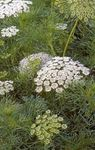 Photo Garden Flowers Visnaga. Khella. Bishop's Weed, Toothpickweed (Ammi visnaga), white