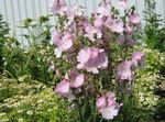 Photo Garden Flowers Checkerbloom, Miniature Hollyhock, Prairie Mallow, Checker Mallow (Sidalcea), pink