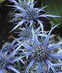 Photo Amethyst Sea Holly, Alpine Eryngo, Alpine Sea Holly characteristics