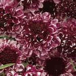 Photo Scabiosa, Pincushion Flower characteristics