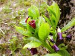 Photo European Scopolia, Russian Belladonna characteristics