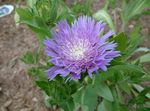 Photo Cornflower Aster, Stokes Aster characteristics
