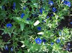 Photo Blue pimpernel characteristics