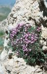 Photo Garden Thyme, English Thyme, Common Thyme characteristics