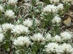 Photo Pearl everlasting characteristics