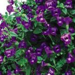 Photo Clown Flower, Wishbone Flower (Torenia), purple