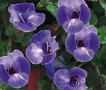 Photo Clown Flower, Wishbone Flower (Torenia), blue