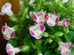Photo Clown Flower, Wishbone Flower (Torenia), pink