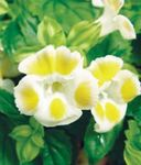 Photo Clown Flower, Wishbone Flower (Torenia), yellow