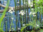 Photo Water Violet characteristics