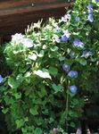 Photo Morning Glory, Blue Dawn Flower characteristics