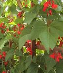 Photo Scarlet Runner Bean, Scarlet Conqueror, Fire Bean, Mammoth, Red Gian characteristics