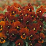 Photo Horned Pansy, Horned Violet characteristics