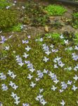 Photo Alpine Bluets, Mountain Bluets, Quaker Ladies characteristics