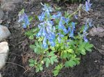 Photo Corydalis characteristics