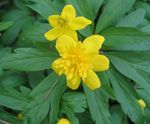Photo Double-Flowered Yellow Wood Anemone, Buttercup Anemone characteristics