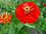 Photo Garden Flowers Zinnia , red