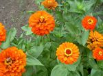 Photo Garden Flowers Zinnia , orange