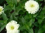 Photo Garden Flowers Zinnia , white